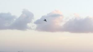 Pelikan i skyn